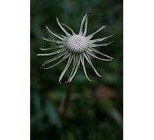 Dandelion with no petals Photographic Print