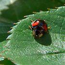 Ladybird, Ladybird by AnnDixon