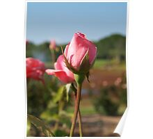 Pink rosebuds within a garden Poster