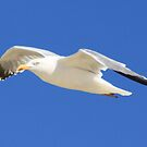 Seagull in flight by DutchLumix