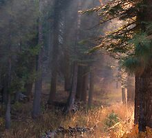 Golden sun ray through Pine and Fern forest  by Soumya Mitra