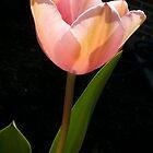 Pink tulip by tneldreth
