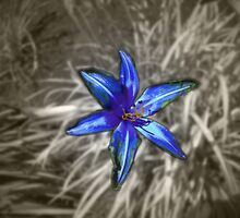 """wild"" Lily by chrispy"