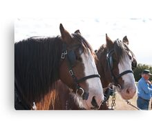 Clydesdale - Getting ready to work 2 Canvas Print