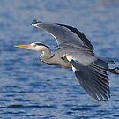 Grey heron Inflight 2 by Alexa Pereira