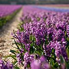 Hyacinth Field by Charlotte Lake