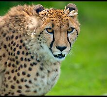 Cheetah by Mark Lyons