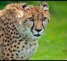 Cheetah by Mark Lyons