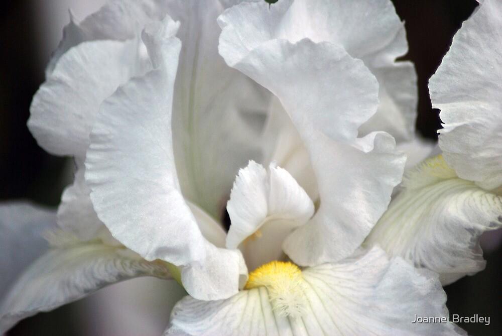 White Iris by Joanne  Bradley
