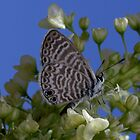 Marine Blue Butterfly by Bluecornstudios