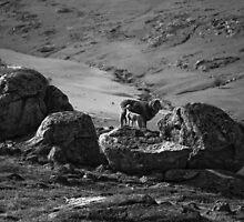 baa baa black and white sheep by paul erwin