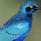 Greater Blue-eared Glossy Starling showing its colors by jozi1