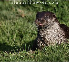 Otter 02 by Alannah Hawker