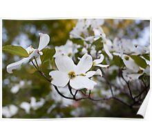 Flowering White Dogwood [1] Poster
