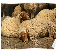 In need of Shearing Poster