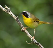 Common Yellowthroat by Bill McMullen