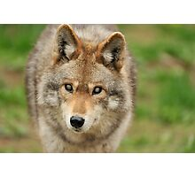 Smokey the Coyote Photographic Print