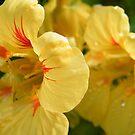 Golden Nasturtium by ElsT