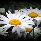 White Shasta Daisies by kkphoto1