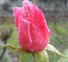 Pink Rose Bud by Margaret Bonnes