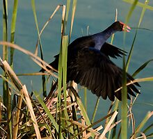 A Purple Swamphen by Hedoff