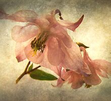 Aquilegia by mariarty