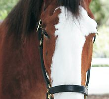 Budwieser Clydesdale by Sheryl Unwin