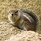 Harris' Antelope Squirrel by Kimberly Chadwick
