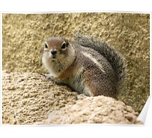 Harris' Antelope Squirrel Poster