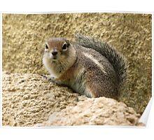 Harris' Antelope Squirrel Poster