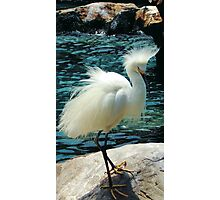 Snowy Egret Photographic Print