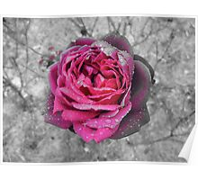 pink rose on black and white Poster