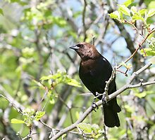 Cowbird in strong light by Janika