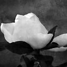 Gardenia by Stormygirl
