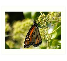 Butterfly in Pacific Grove, CA Art Print