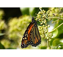 Butterfly in Pacific Grove, CA Photographic Print