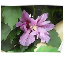 Lilac Flower of China Poster