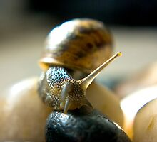Garden Snail by Trevor Kersley