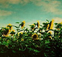 A Field of Sunflowers by rosedew