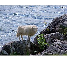 Lamb shanks Snowdonia Photographic Print