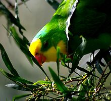 Superb Parrot - Looking for Food by Craig Stronner