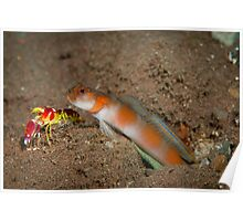 Shimp goby with shrimp Poster