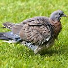 Fledgling Wood Pigeon by Geoff Carpenter