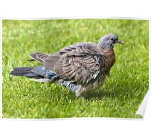 Fledgling Wood Pigeon Poster