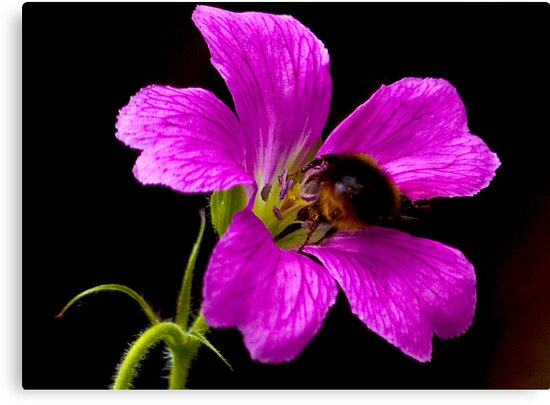 Foraging Bee a Closer View by Trevor Kersley