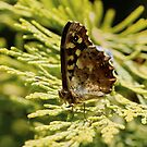 Speckled Brown Butterfly by AnnDixon