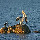 Pied cormorant and pelican by Christine Beswick