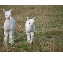 New Born Alpacas Photographic Print