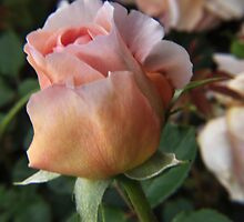 peach rose ready to blossom by 1busymom