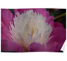pink and white peony at kingwood center Poster
